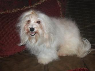 white cream havanese dog with puppies for sale in charlotte north carolina