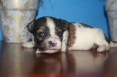 Biscuit Male Puppy2