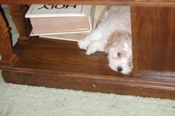 sleeping havanese puppies for sale