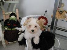white havanese puppies in the baby's room