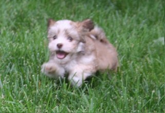 Sable and white havanese puppy running and playing in charlotte north carolina