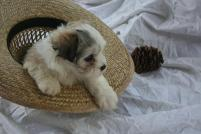 Christmas havanese puppy playing in a hat