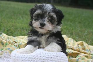 Havanese puppy sitting on a hat