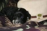 black havanese puppy photo shoot