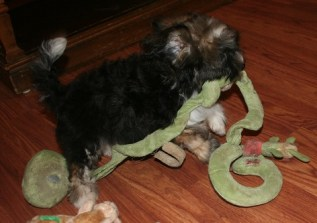 Sable havanese puppy plays with snake
