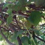 """""""ใบไม้สีทอง""""หน้าบ้านชูโชว์ยอดอ่อนเหลืองอร่ามงามแท้แลตะลึง(คลิป)"""