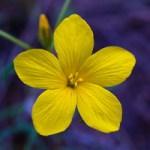 อังกฤษอนุญาตให้ทดสอบภาคสนามกับพืช Camelina ดัดแปลงพันธุกรรม