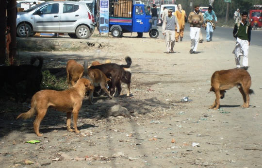 In last three and a half years, the hospital received an alarming 53, 925 dog bite cases from different parts of Kashmir.
