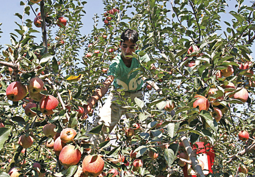 With cold storage units opening in Kashmir apple is in safe hands.