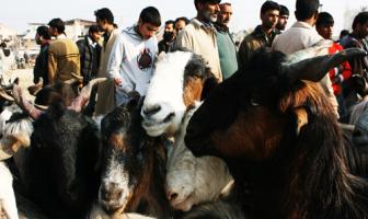 Goats being sold for sacrificial purpose on Eid-ul-Azha - Photo:Bilal Bahadur.
