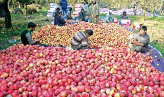 Nearly 1,50,000 hectares making almost 55% of the horticulture land in Kashmir is under Apple cultivation -- Photo: Bilal Bahadur.
