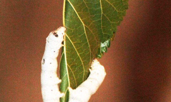 3.Newly born Caterpillars or Larvae  eat tender mulberry leaves so to develop silk
