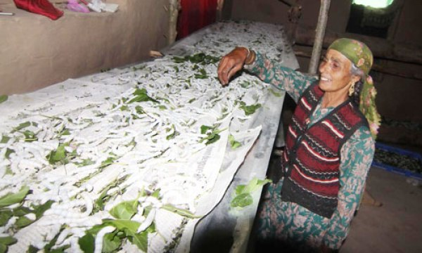 5.Noora, one of the  members of Gulab SHG from Check-i-Jamaal Mir  cultivating  silk worms locally