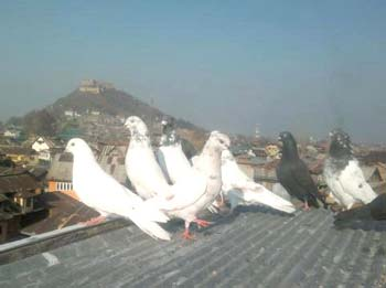 Pigeons-on-roof-of-a-house-somwhere-in-downtown-srinagar-kashmir-54657486