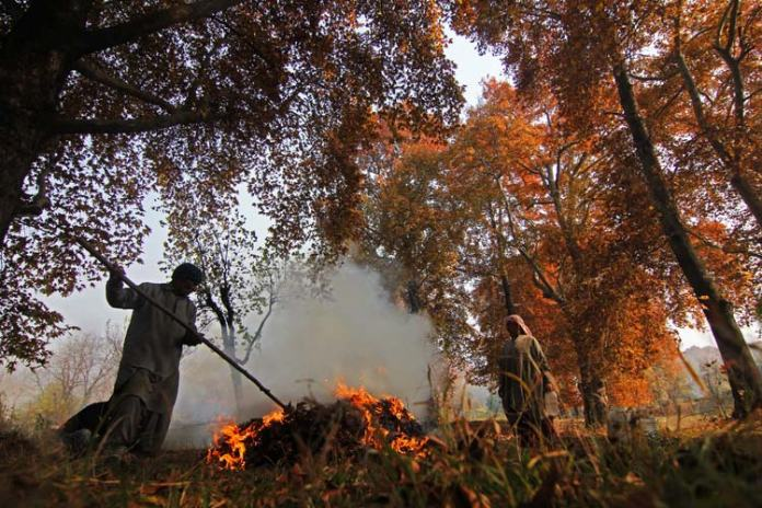 The leaves will finally fall to the ground and become the chief source of charcoal for the locals who collect it from half burnt chinar leaves and fill their 'kangris' (earthen firepots woven in willow wicker).
