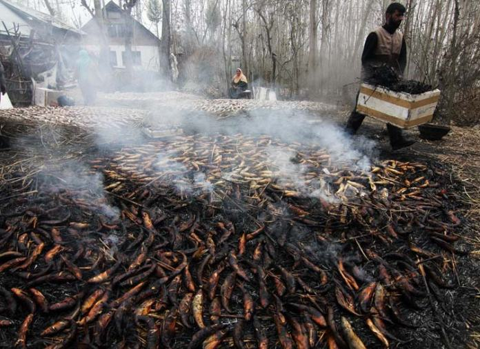 And then smoked lot is collected. The method of preparation of smoked fish appears to be unique to Kashmir. The fishes are not cleaned or gutted prior to smoking, which is carried out on slow burning green grass.