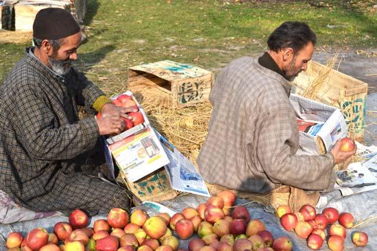 Sorting of apple according to its quality in progress.Pics: Bilal Bahadur