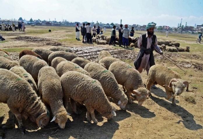 SHEEPS (1)