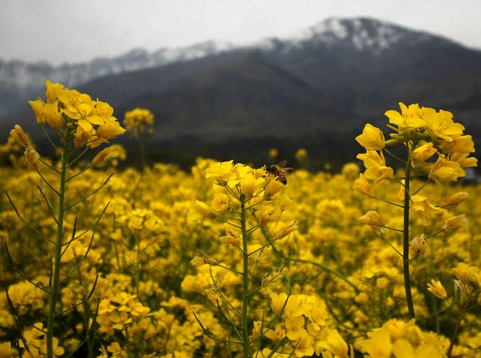 Honey Bee collecting necter in a bloomed mustard Field in central Kashmir Ganderbal on Wednesday 16, March 2016.PHOTO BY BILAL BAHADUR