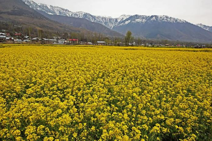 Mustard flowers bloom at a field on the outskirts of Srinagar,on Wednesday 23 March 2016PHOTO BY BILAL BAHADUR