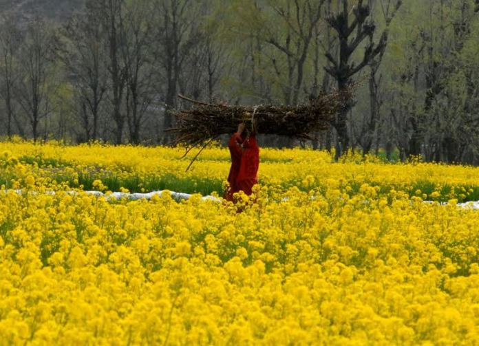 Kashmiri women pass through a mustard field in the outskirts of Srinagar,Wednesday 23 March 2016PHOTO BY BILAL BAHADUR