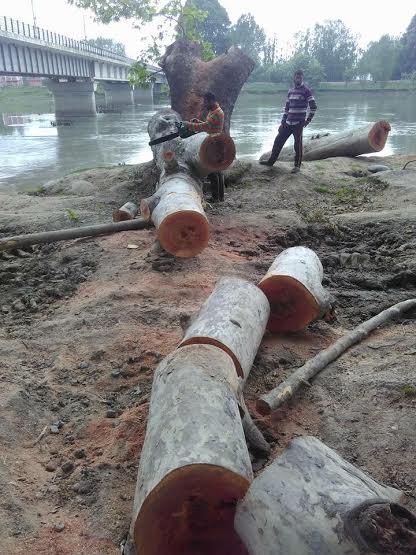 Chinars Cut Down in Shadipora 1