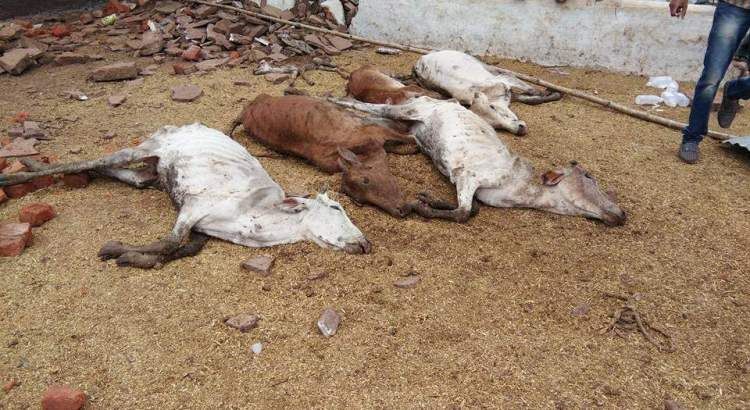 Judicial probe ordered into cow deaths at shelters run by BJP leader