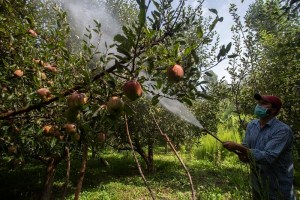 50 Days of Kashmir Clampdown: Fear of Unknown Grips Apple Growers