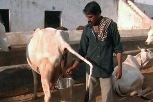Govt Creating Digital Registry for Cow Urine Researchers