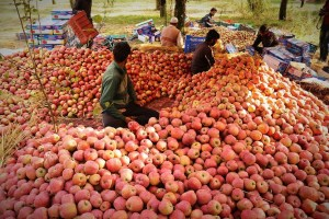 Kashmiri Apples To Be Exported To Middle East
