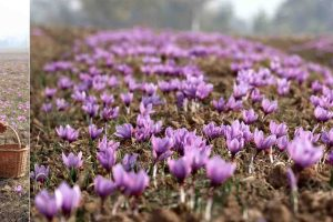 Kashmir Expects Bumper Saffron Crop This Season
