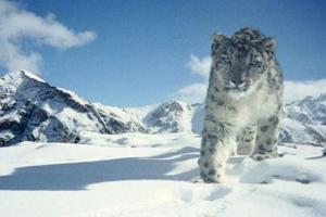 Countries Must Strive To Double Snow Leopard Population: India