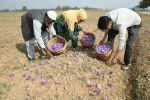 Amid Declining Production, Kashmir Farmers Seek GI Tag For Local Saffron