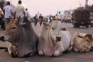 Ministry Offers Funds for Research in Dung, Urine of Cows