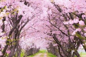 Srinagar To Get Japanese Cherry Blossom Theme Garden