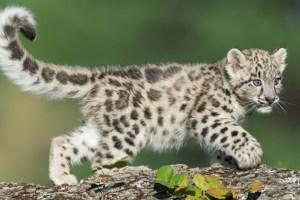Leopard Cub Captured In Budgam Village