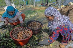 KO Photos: Annual Walnut Fest in Kashmir