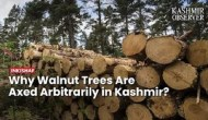 Why Walnut Trees Are Axed Arbitrarily in Kashmir?