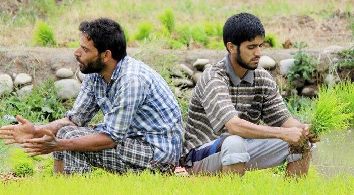 Farmers planting rice saplings in paddy fields in Kashmir