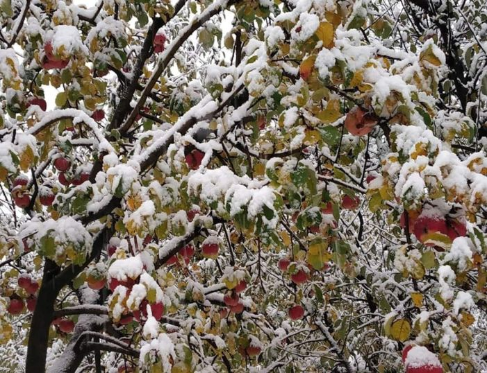 Apple farmers go for early pruning to prevent snow damage