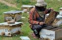 Lockdown cripples migratory beekeepers