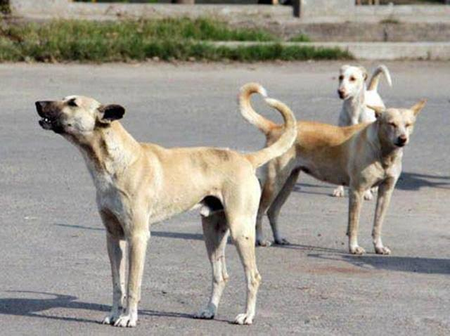 Famished street dogs become vicious in Shopian