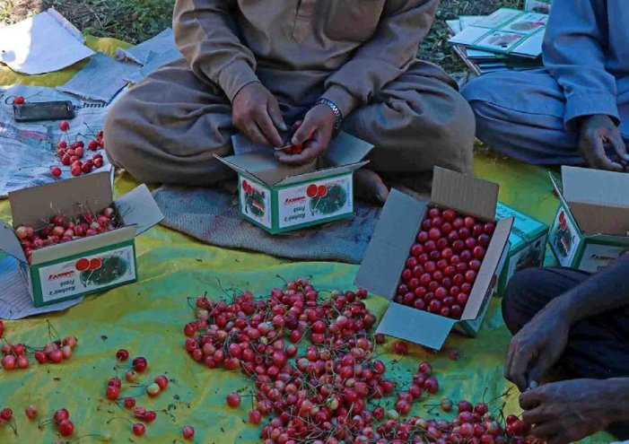 Cherry transportation picks up in Shopian amid pandemic