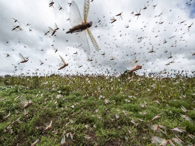 J&K braces for locust storm that 'may come in Aug or Sep'