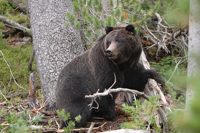 Bear shot dead by man to save life of his father