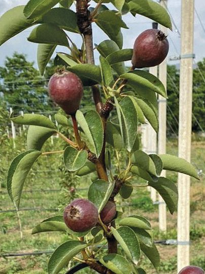 Horticulture centre in Srinagar cultivates new crop: Imported varieties of pear