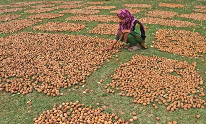 A farmer adjusting freshly picked walnuts for drying in Budgam