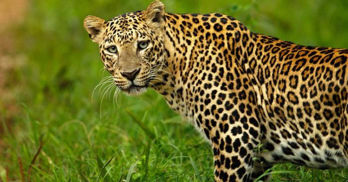 Leopard enters into residential house in Budgam village; inmates rescued