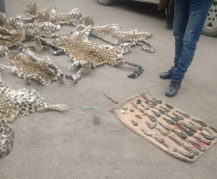 8 leopard hides, 4 musk deer pods, 38 bear gallbladders recovered in Anantnag, 1 person arrested