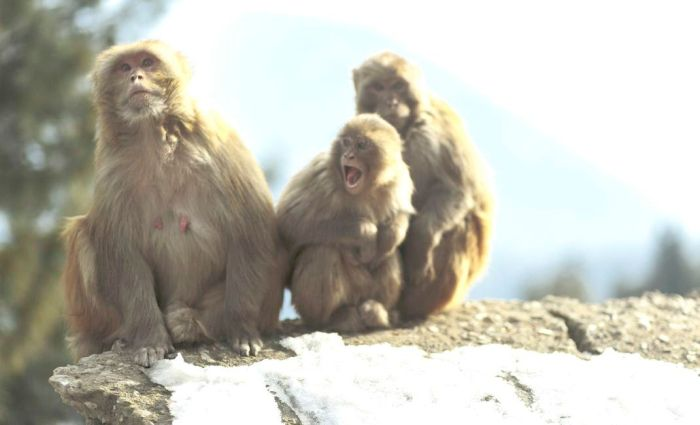 Monkeys create panic in Uri town, damage ceiling of two schools